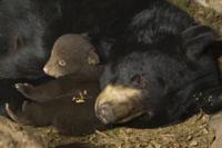 巣穴で休息するアメリカグマ(アメリカクロクマ)の母子(生後7 32243000180| 写真素材・ストックフォト・画像・イラスト素材|アマナイメージズ