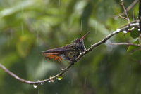 ハイバラエメラルドハチドリ