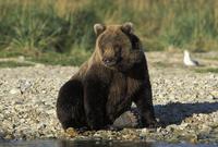 アラスカヒグマの子