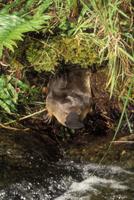 巣穴から出るカモノハシ
