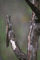 日中、木の枝に隠蔽擬態するハイイロタチヨタカ 32246016598| 写真素材・ストックフォト・画像・イラスト素材|アマナイメージズ