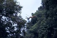 テングザル ジャンプ