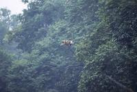 テングザルの母子 ジャンプ