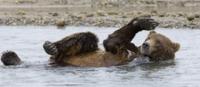 水遊びをするアラスカヒグマ(コディアックヒグマ)