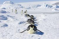 雪原を腹ばいで移動するコウテイペンギン(エンペラーペンギン) 32251000172| 写真素材・ストックフォト・画像・イラスト素材|アマナイメージズ