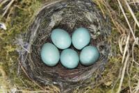 ヨーロッパカヤクグリの巣と卵