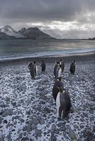 オウサマペンギンのグループ