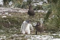 ジェンツーペンギンのあとをつけるミナミオオトウゾクカモメ