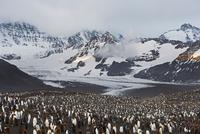 オウサマペンギンの繁殖地