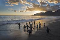 海に入ろうとするオウサマペンギン
