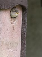 巣箱から顔を出すイエスズメ