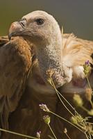 シロエリハゲワシ
