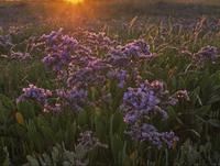 スターチス(リモニウム)の咲く湿地
