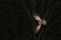 獲物を狙うモリフクロウ 夜