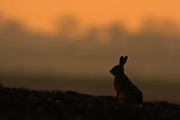 ヤブノウサギ シルエット