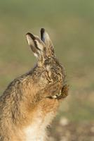 顔を洗うヤブノウサギ