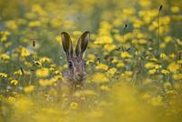 警戒するヤブノウサギ