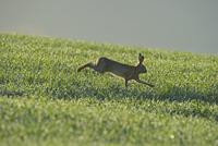 野原を走るヤブノウサギ