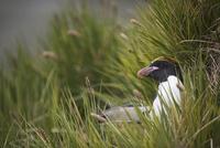 繁殖地のマカロニペンギン