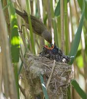 ヨシキリの巣で餌をもらうカッコウ