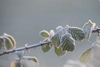 霜のおりたキイチゴの葉