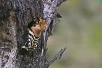 巣に餌を運ぶヤツガシラ