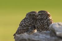 交尾の前に羽づくろいし合うコキンメフクロウ