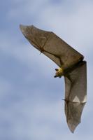 ストローオオコウモリの飛翔