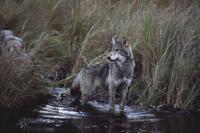 ビーバーの小川で獲物を狙うタイリクオオカミ