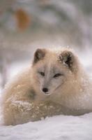 雪の中で休むホッキョクギツネ
