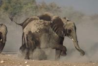砂浴びをするアフリカゾウのグループ
