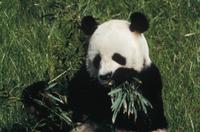 竹を食べるジャイアントパンダ 絶滅危惧種