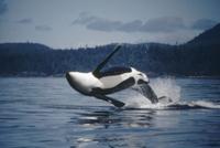水面に躍り出るシャチ(オルカ)のオス 32258000151| 写真素材・ストックフォト・画像・イラスト素材|アマナイメージズ