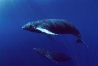 水中をおよぐザトウクジラのペア