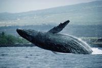 水面に躍り出るザトウクジラ