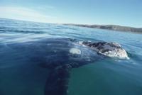 水面のミナミセミクジラ