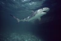水中を泳ぐイタチザメ