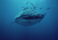 ジンベエザメ(ジンベイザメ)   口を開けた先には小魚が群れ