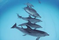 タイセイヨウマダライルカの群れと一緒に泳ぐハンドウイルカ(バ