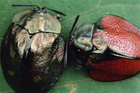 色の違うジンガサハムシの仲間 二匹