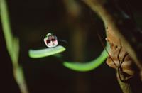 口を開けるパロットヘビの仲間(亜種)