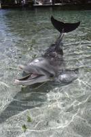 水面から顔を出すハンドウイルカ(バンドウイルカ)