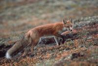秋のツンドラ平原を横切るアカギツネ