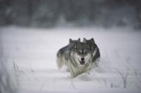深い雪の中を走る3匹のシンリンオオカミ