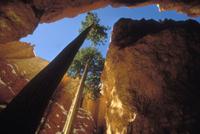 高い砂岩の壁の間を太陽を求めて伸びる二本のベイマツ(アメリカ