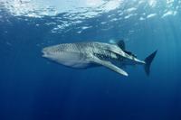 ジンベエザメ(ジンベイザメ) 世界最大のサメ
