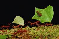 巣に葉を運ぶハキリアリの仲間の働きアリ