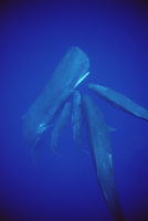水中で社交するマッコウクジラ 32258000581| 写真素材・ストックフォト・画像・イラスト素材|アマナイメージズ