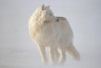 雪嵐の中のタイリクオオカミ