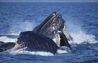 ザトウクジラ 集団で協力しニシンの群れを一度に飲み込む 32258000632| 写真素材・ストックフォト・画像・イラスト素材|アマナイメージズ